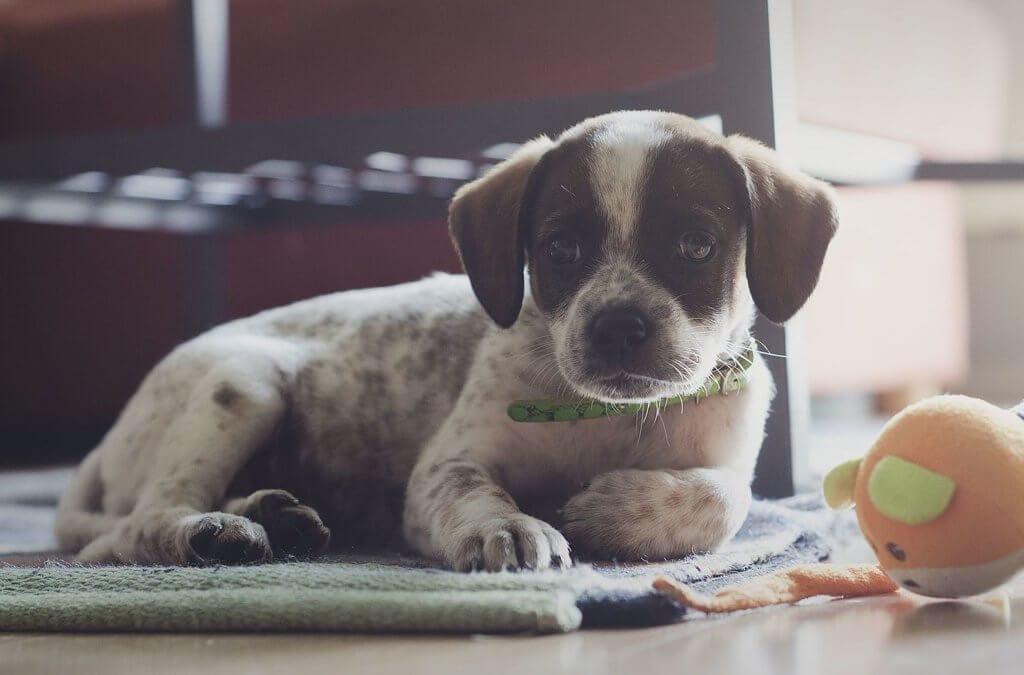 Tekila - szczeniak znaleziony w lisiej norze, adoptowany przez mojego syna